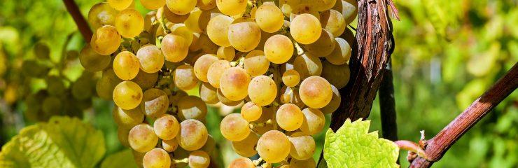Wine cellars and vineyards